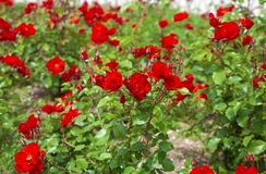 红色玫瑰的布什 免版税库存图片