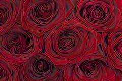 红色玫瑰背景 库存照片