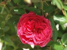 红色玫瑰色秀丽自然春天花 库存图片