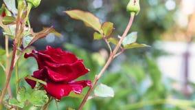红色玫瑰色绽放在庭院里 股票录像