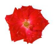 红色玫瑰色花 免版税图库摄影