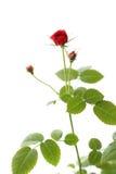 红色玫瑰色茶 库存照片