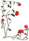 红色玫瑰色藤 免版税库存照片