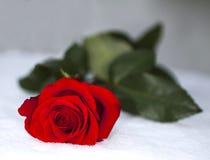 红色玫瑰色雪 库存图片