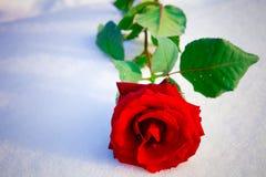 红色玫瑰色雪 免版税图库摄影