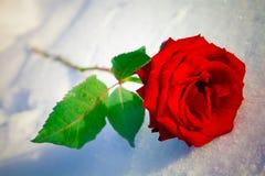 红色玫瑰色雪 图库摄影