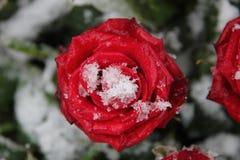 红色玫瑰色雪 免版税库存图片