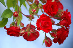 红色玫瑰色s 免版税库存照片