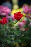 红色玫瑰花在庭院里 库存图片