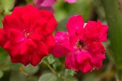 红色玫瑰花在泰国的庭院里。 库存图片