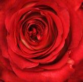 红色玫瑰花特写镜头 图库摄影