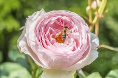 红色玫瑰花特写镜头在有一只蜂的一个庭院里在花 免版税图库摄影