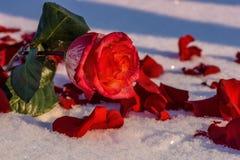 红色玫瑰花瓣雪 免版税库存照片