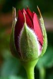 红色玫瑰花蕾 免版税库存照片
