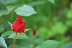 红色玫瑰花蕾 免版税库存图片