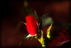 红色玫瑰花蕾 库存图片
