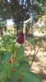 红色玫瑰花蕾 免版税图库摄影