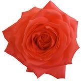 红色玫瑰花,白色隔绝了与裁减路线的背景 特写镜头 免版税库存照片