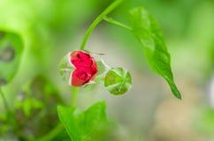 红色玫瑰芽在开花庭院里 免版税库存图片
