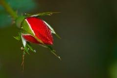 露水被盖的玫瑰色芽 库存照片