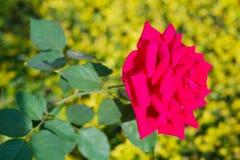 红色玫瑰软的焦点特写镜头反对在焦点黄绿色植物,饱和的颜色外面的 免版税库存照片