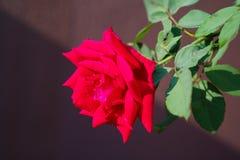 红色玫瑰软的焦点特写镜头对有对角阴影的棕色墙壁 免版税图库摄影