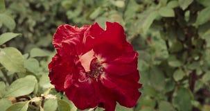 红色玫瑰顶视图特写镜头  美丽的玫瑰的布什在法国庭院里 水平的射击 影视素材