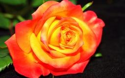 红色玫瑰黄色 免版税库存图片