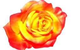 红色玫瑰黄色 免版税库存照片