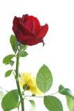红色玫瑰黄色 库存照片