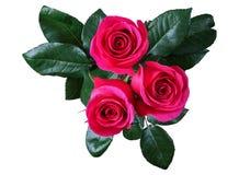 红色玫瑰,孤立 库存图片
