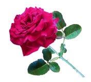 红色玫瑰,孤立 免版税库存照片