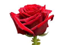红色玫瑰,芽,与露滴的柔软光滑的树桩,被隔绝 免版税库存图片