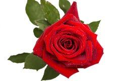 红色玫瑰,芽,与露滴的柔软光滑的树桩,被隔绝 免版税库存照片