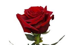 红色玫瑰,芽,柔软光滑的棍子,被隔绝 免版税库存图片
