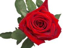 红色玫瑰,芽,柔软光滑的棍子,被隔绝 库存图片