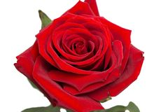 红色玫瑰,芽,柔软光滑的棍子,被隔绝 免版税图库摄影