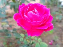 红色玫瑰:爱的标志 免版税库存照片