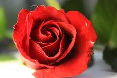 红色玫瑰绿色叶子爱新鲜的开花浪漫浪漫史 库存照片