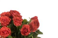 红色玫瑰 图库摄影