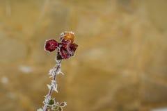 冻红色玫瑰 库存照片