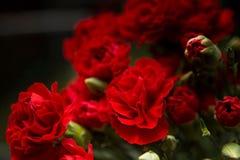 红色玫瑰 免版税库存照片