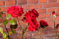 红色玫瑰covred与雨下落 库存图片