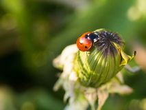 红色瓢虫或瓢虫在一个闭合的蒲公英顶部 库存图片