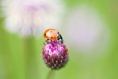 红色瓢虫 在顶面蓝色,紫罗兰色花的夫人鸟 免版税库存照片
