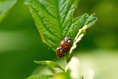 红色瓢虫(Coccinella septempunctata) 图库摄影