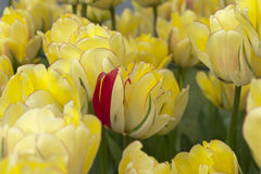 红色瓣在黄色郁金香床上  库存图片