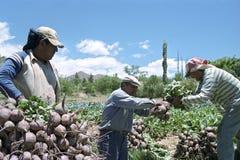 红色甜菜收获在北阿根廷 免版税库存照片