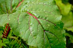 红色甜菜有滴水beta寻常的植物叶子 库存照片