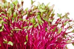 红色甜菜根、新鲜的新芽和年轻人叶子 免版税库存照片